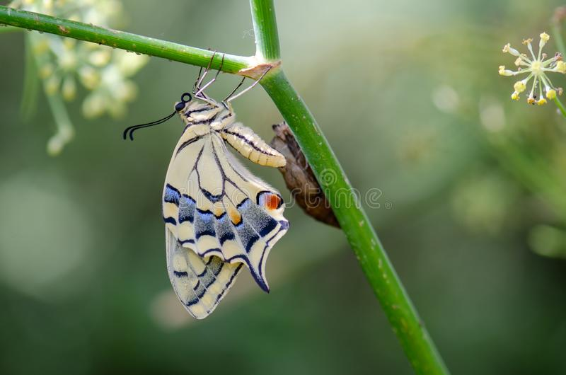 Papilio machaon butterfly. Close up photo of Papilio machaon butterfly royalty free stock image