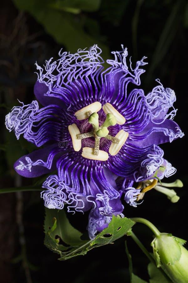 Close up photo of Passiflora incarnata flower in botanic garden. stock images