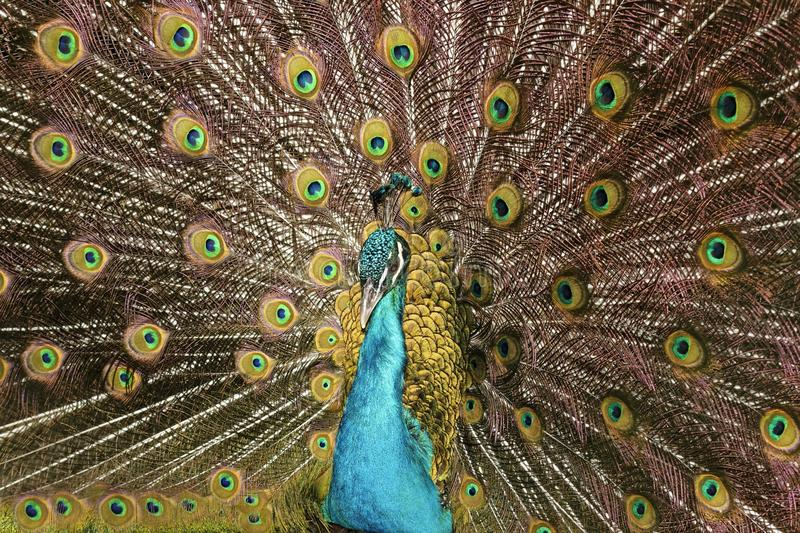Close-up Photo of Peacock stock photo