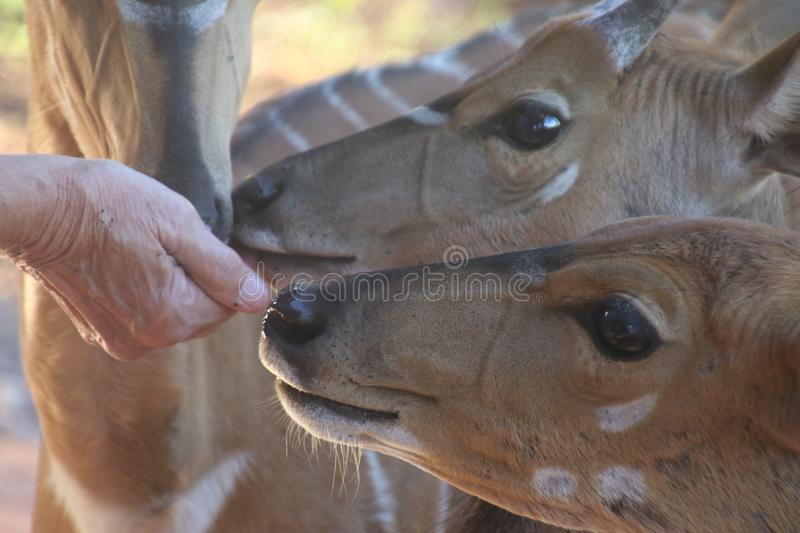 Close-Up Photo of Person Feeding Brown Deer stock photos