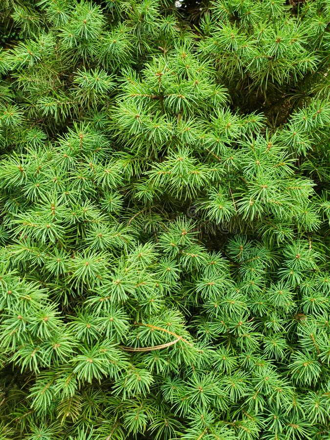 Close up photo of a pine bush with sharp needles. Pine needles close up photo with texture of the needles royalty free stock photography