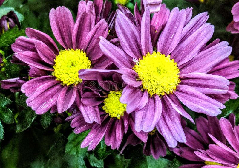 Close-up Photo Of Purple Petaled Flowers royalty free stock photography