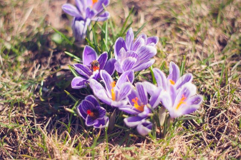 Close-up Photo of Purple Saffron Crocus stock images