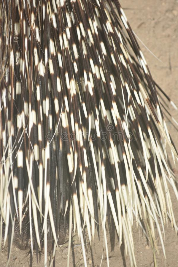 Close up photo of the quills on a porcupine. Beautiful brown and white striped porcupine quills royalty free stock photos
