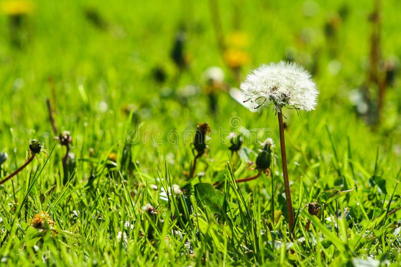 Close-up photo of ripe dandelion. White flowers in green grass. Closeup of fluffy white dandelion royalty free stock photos