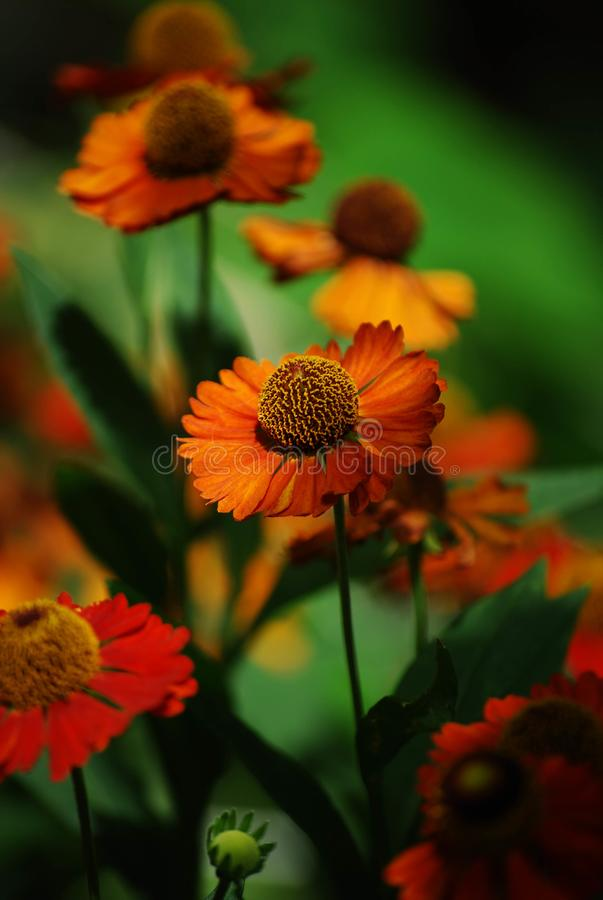 Close up photo of Rudbeckia hirta, yellow flower of orange coneflower. stock photography