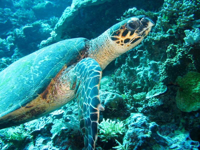 Close up photo of a sea turtle. The photo is in yellow and blue colors. the part of fin is appeared. royalty free stock image