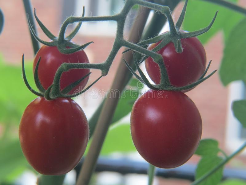 Grape tomatoes come to fruition on the vine in a garden. Close up photo showing the detail of the grape tomatoes as they ripen and hang on the vine royalty free stock photo