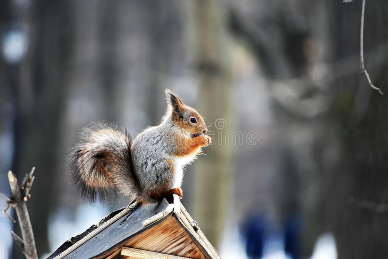Card background, a close-uo photo of a squirrell. A close-up photo of a squirrel sitting on a feeder at the blurred background in the park, cracking nuts. A card royalty free stock photos