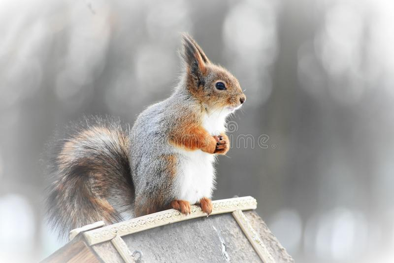 Card background, a close-uo photo of a squirrell. A close-up photo of a squirrel sitting on a feeder at the blurred background in the park, cracking nuts. A card royalty free stock photography
