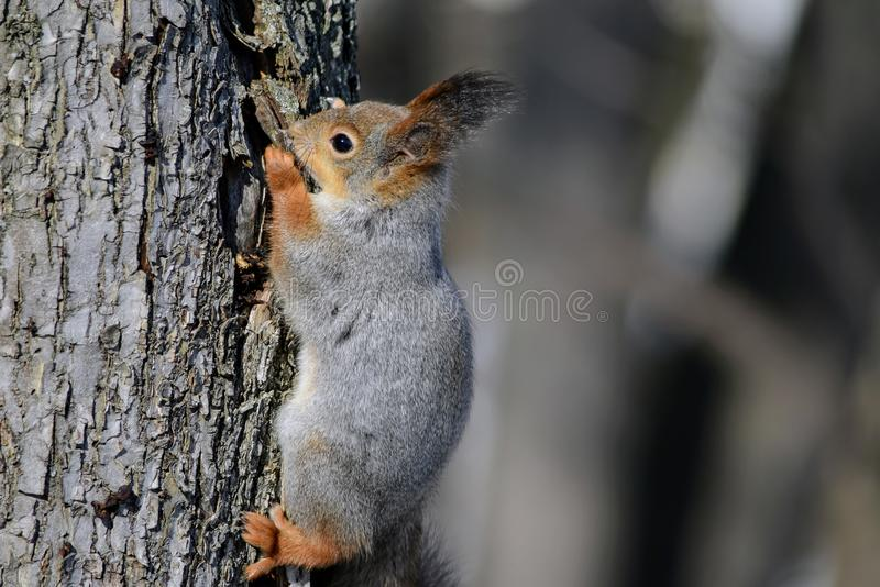 A close-up photo of a squirrel on the tree bark. royalty free stock photos