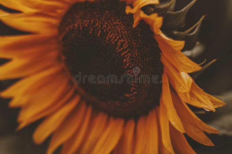 Close-up Photo of Sunflower in Bloom stock images