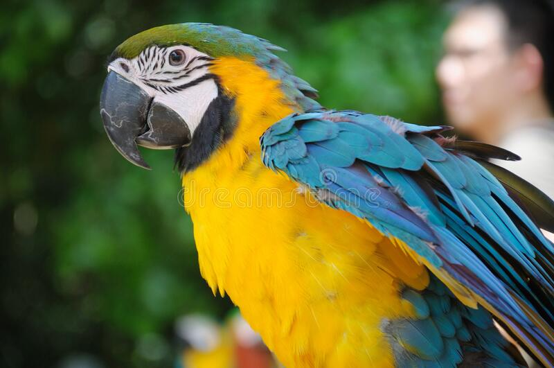 A photo taken on a solitary gold macaw at a park stock photos