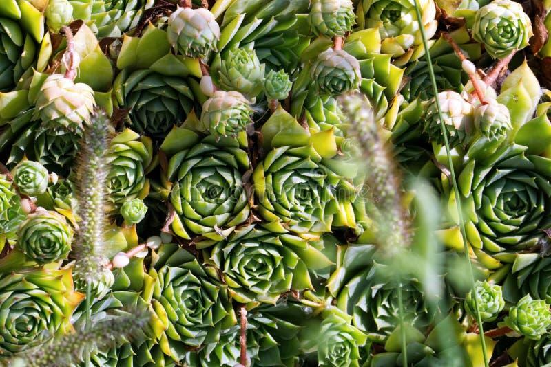 Multiple green rosette shaped succulents stock photo