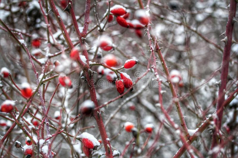Close-up Photo of Thorny Red Tree royalty free stock photography