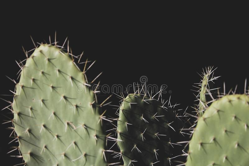 Close-up Photo of Three Green Cactus Plants royalty free stock photography