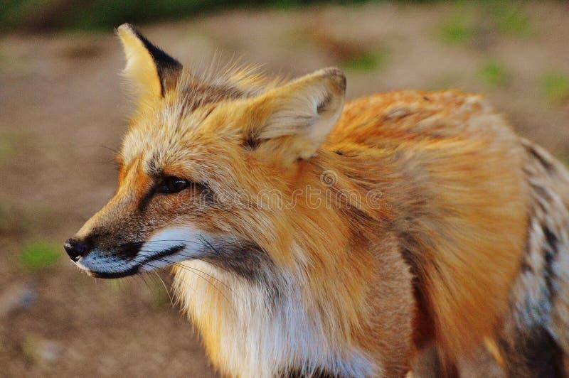 Close Up Photo of True Fox Animal at Daytime stock image