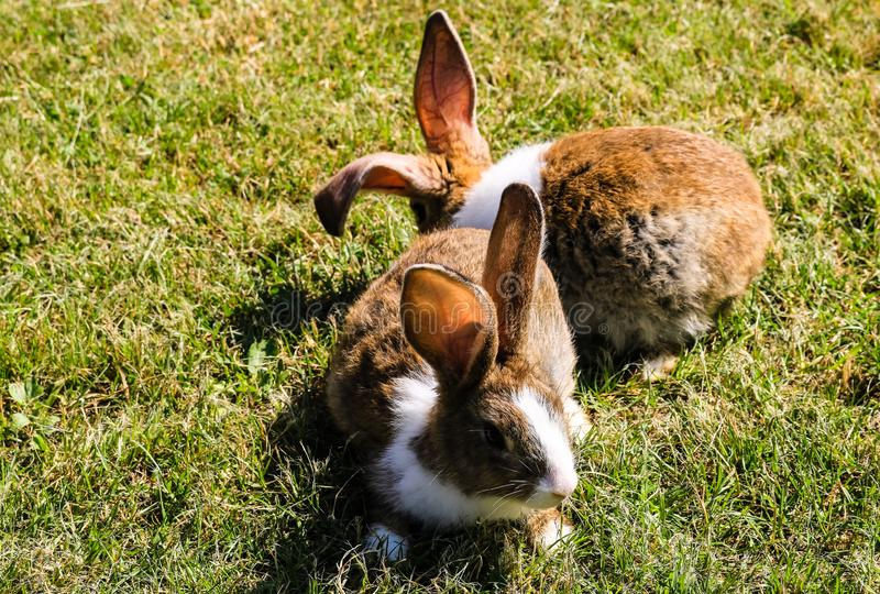 Close up photo of two white and brown rabbits on the grass stock photography
