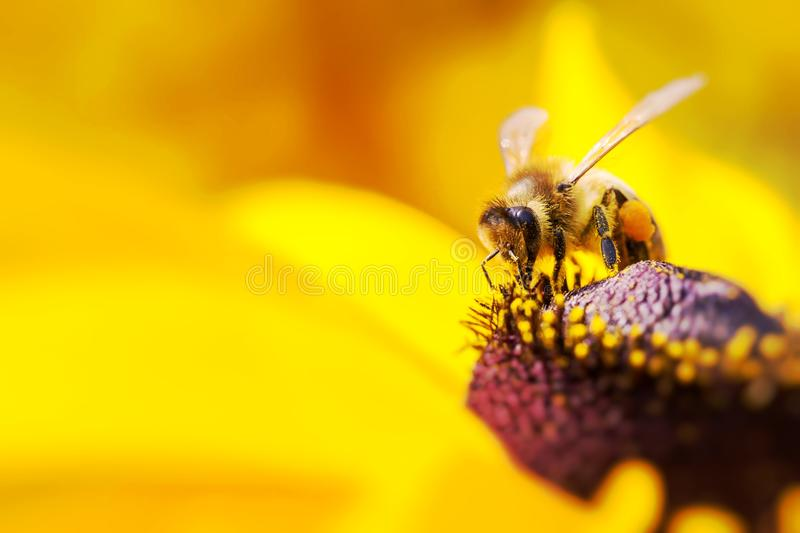 Close-up photo of a Western Honey Bee gathering nectar and spreading pollen on a young Autumn Sun Coneflower (Rudbeckia nitida). stock image