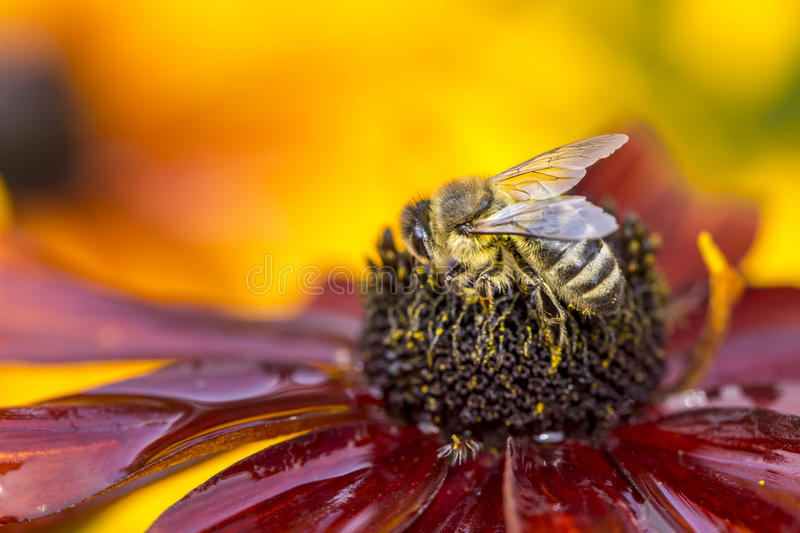 Close-up photo of a Western Honey Bee gathering nectar and spreading pollen. stock photo