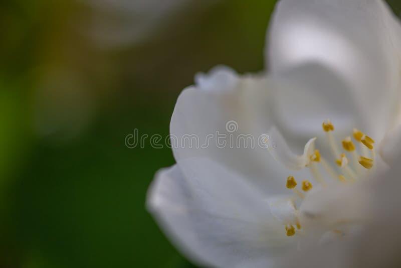 Close-up photo of a white gatden flower royalty free stock photo