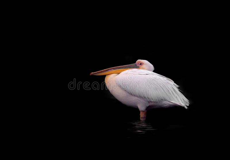 Close up photo of a white pelican stands in a water stock image