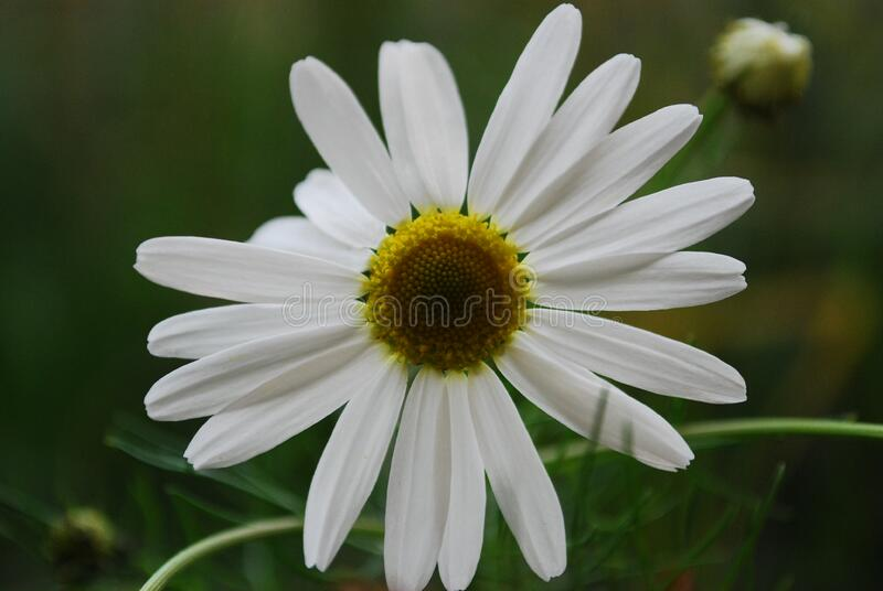 Close Up Photo White Petaled Flower royalty free stock photos