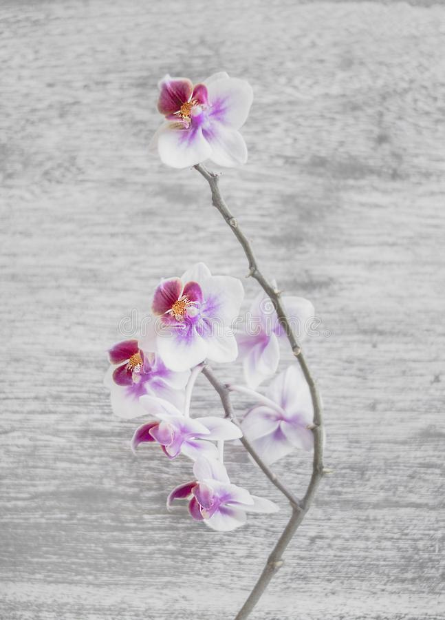 Close Up Photo of White and Pink Moth Orchid Flowers royalty free stock photography
