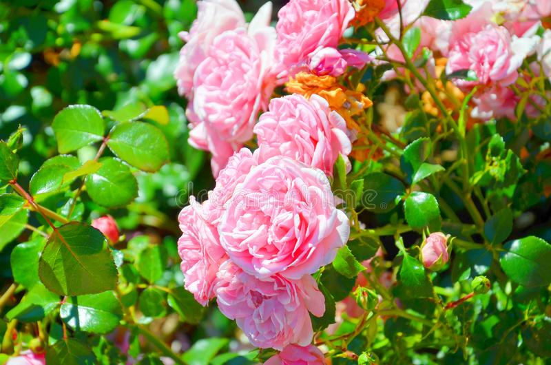 Close up photo of wild pink roses taken on a sunny spring day with sun shining on the green rose leaves and pink florets. Rose is royalty free stock photo