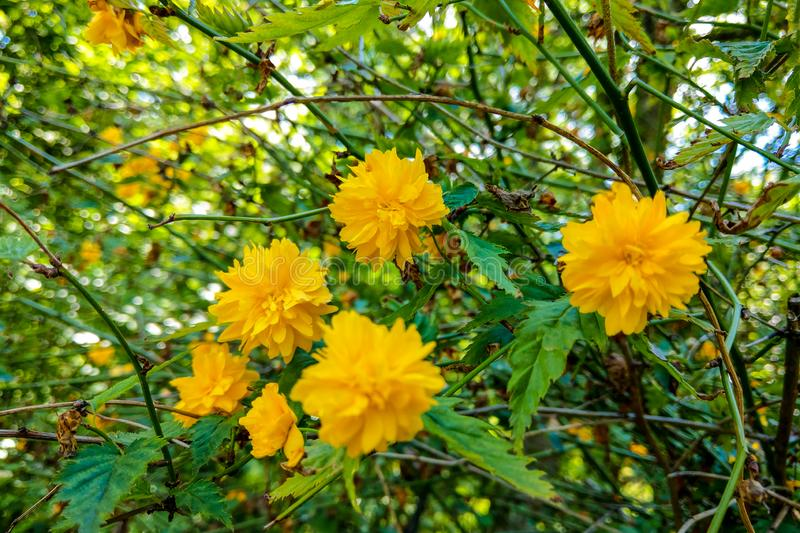 A close-up photo of yellow chrysanths, blooming in a garden in the summer stock image