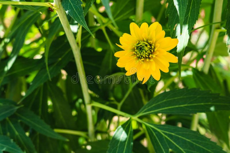 .Close up photo of a yellow flower with green middle and background of green leaves in the garden. Close up photo of a yellow flower with green middle and stock images