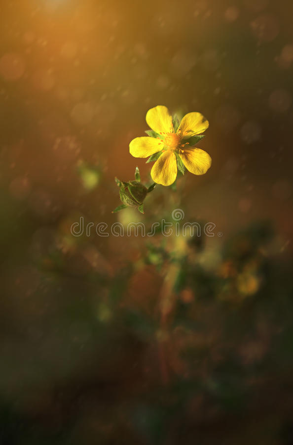 Close up photo of yellow flower. In sunset stock photography