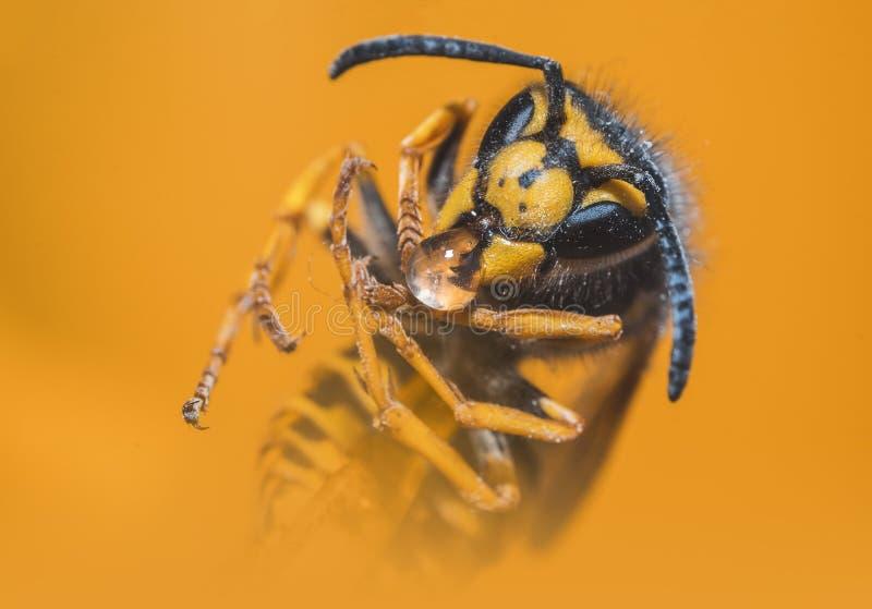 Close Up Photo Of Yellow Jacket Wasp