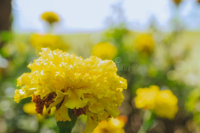 Close up photo of yellow marigold flower with sunlight. Exposure on blurred garden background royalty free stock image