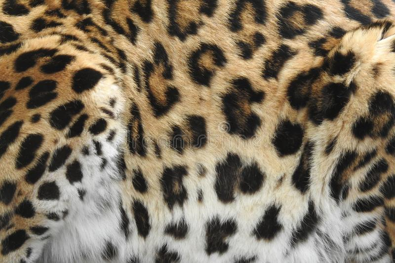 Crouching Leopard Close Up of Spots royalty free stock photography