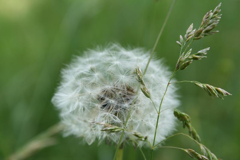 Photo of a white flower. Close up photograph of a dandelion on a green background royalty free stock image