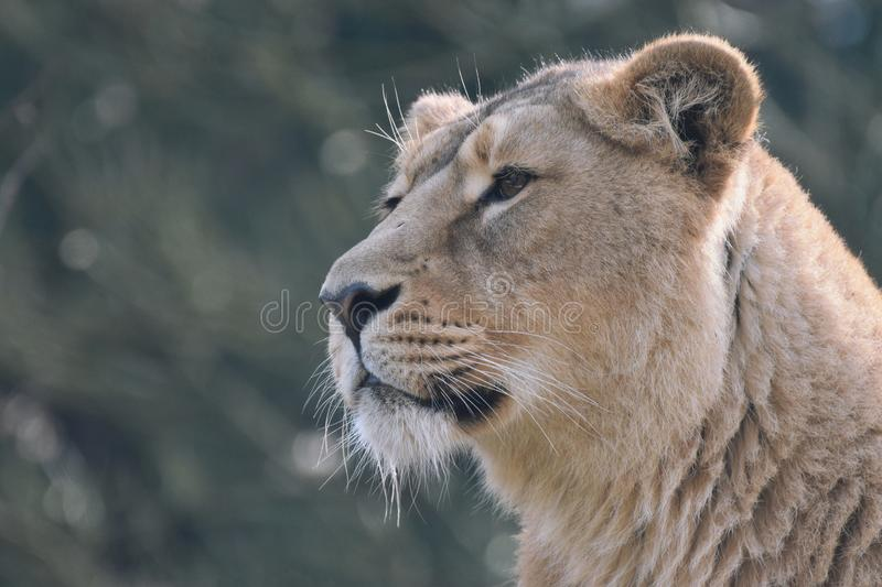 Lioness portrait. A close up photograph of a lioness` head and face in semi profile stock images