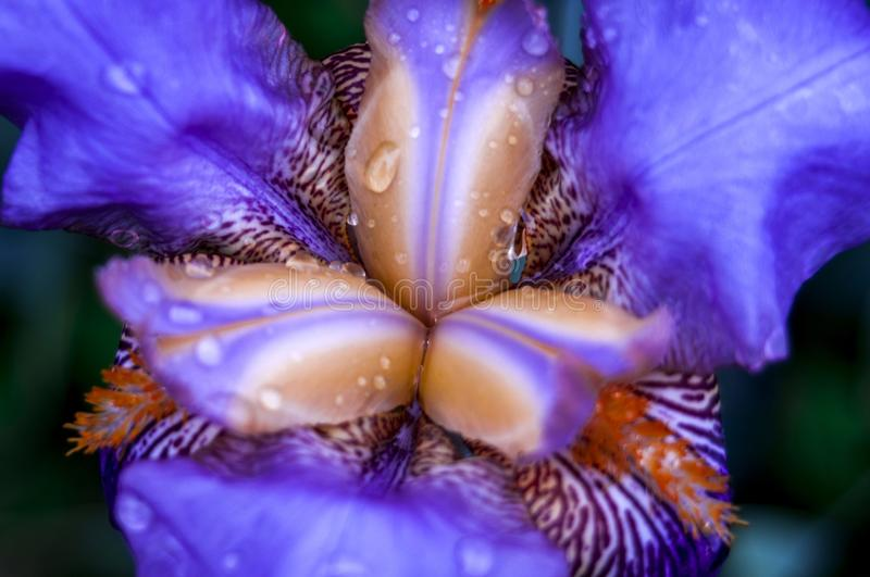 Macro Photo of Purple Iris royalty free stock photos