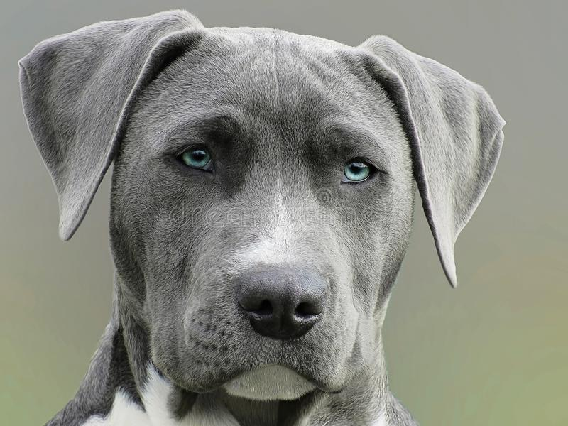 Close Up Photography of Adult Black and White Short Coat Dog stock image
