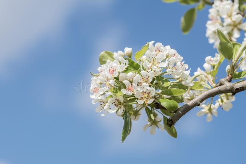 Close-Up Photography Apple Blossoms stock photos
