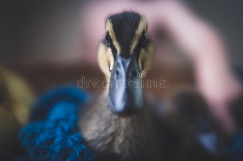 Close-Up Photography of Black Duck stock photography