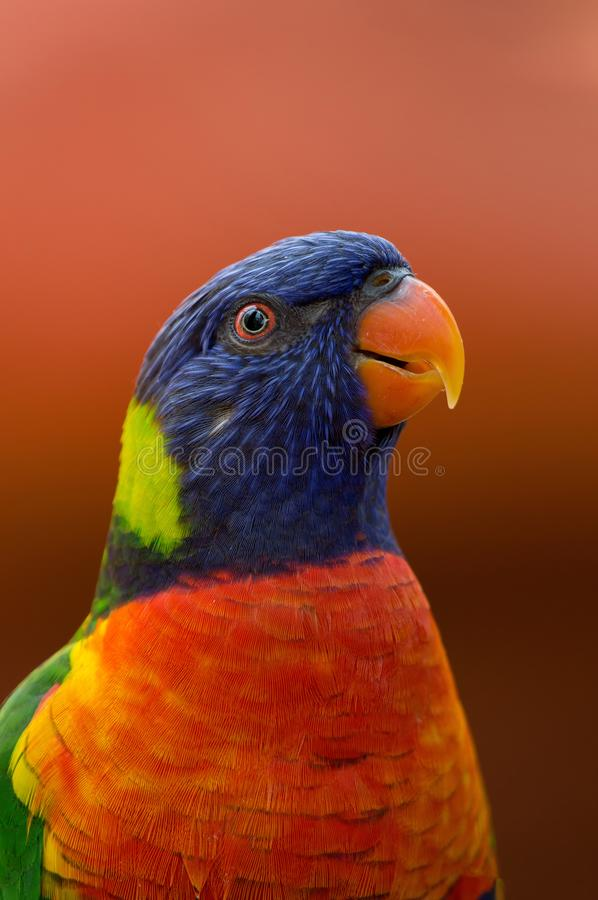 Close-up Photography of Blue, Orange, and Green Parrot royalty free stock photos