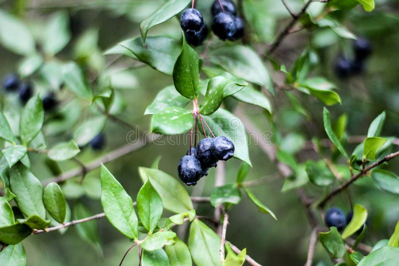 Close-Up Photography of Blueberries royalty free stock image