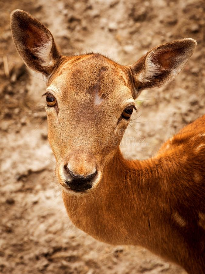 Close Up Photography of Brown Deer during Daytime royalty free stock images