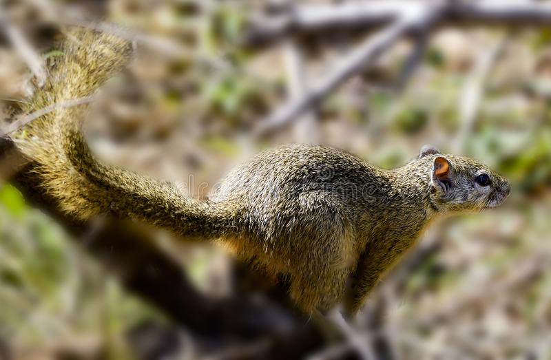 Close Up Photography of Brown Squirrel royalty free stock photos
