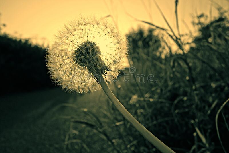 Close Up Photography Of Dandelion Free Public Domain Cc0 Image
