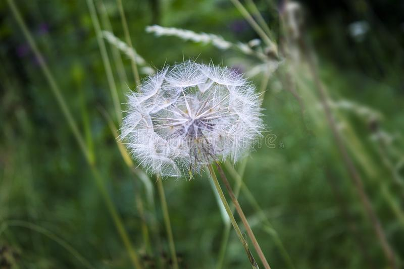 Close up Photography of Dandelion flower stock image