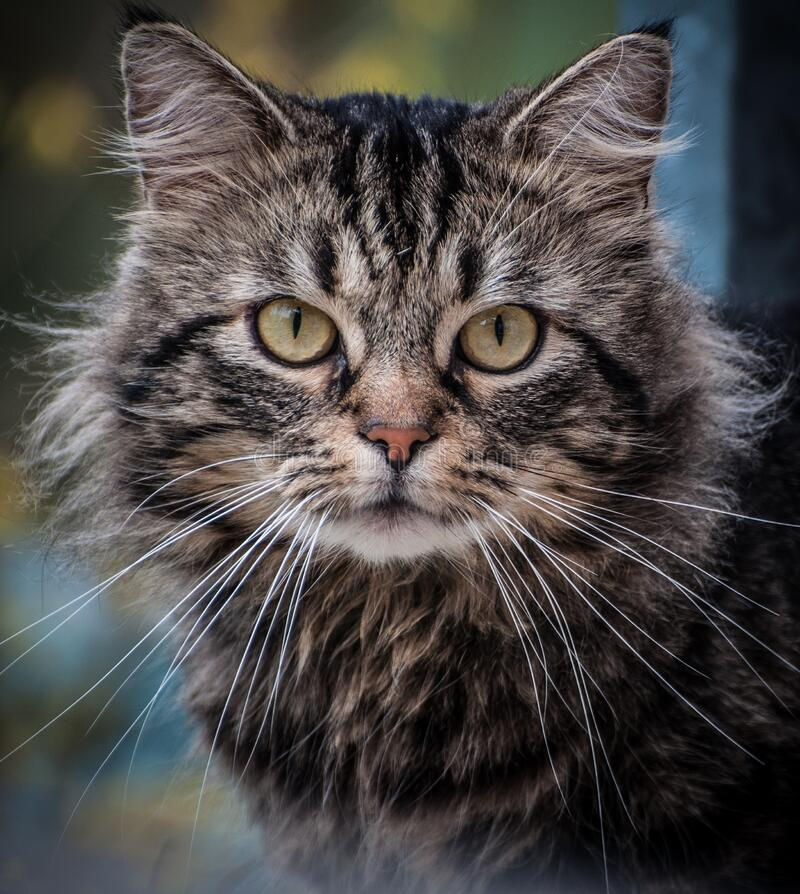 Close Up Photography on Gray Cat royalty free stock photo