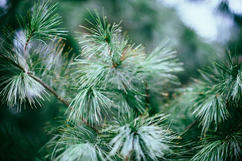 Close Up Photography Of Green Pine Tree Free Public Domain Cc0 Image