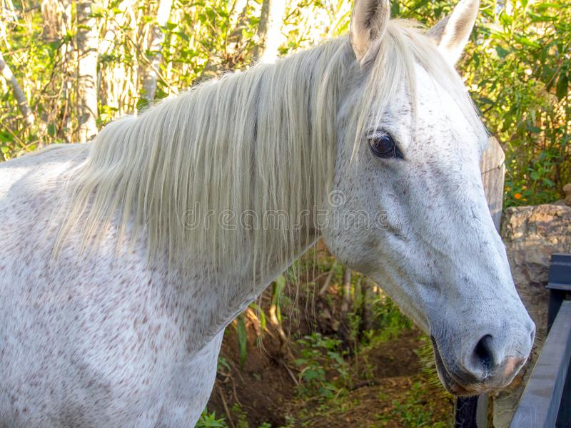 Close-up photography of the head of a fleabitten gray mare. Captured near the colonial town of Villa de Leyva, in the Central Boyacá Province, part of the royalty free stock image